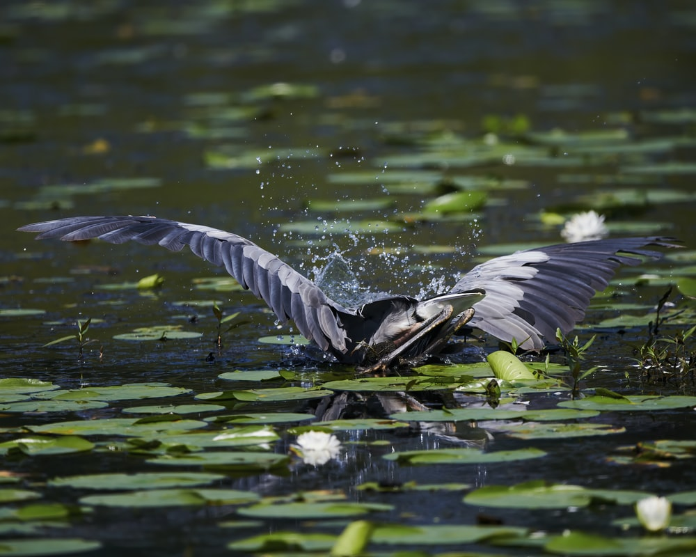 black and white bird flying over green water lilies