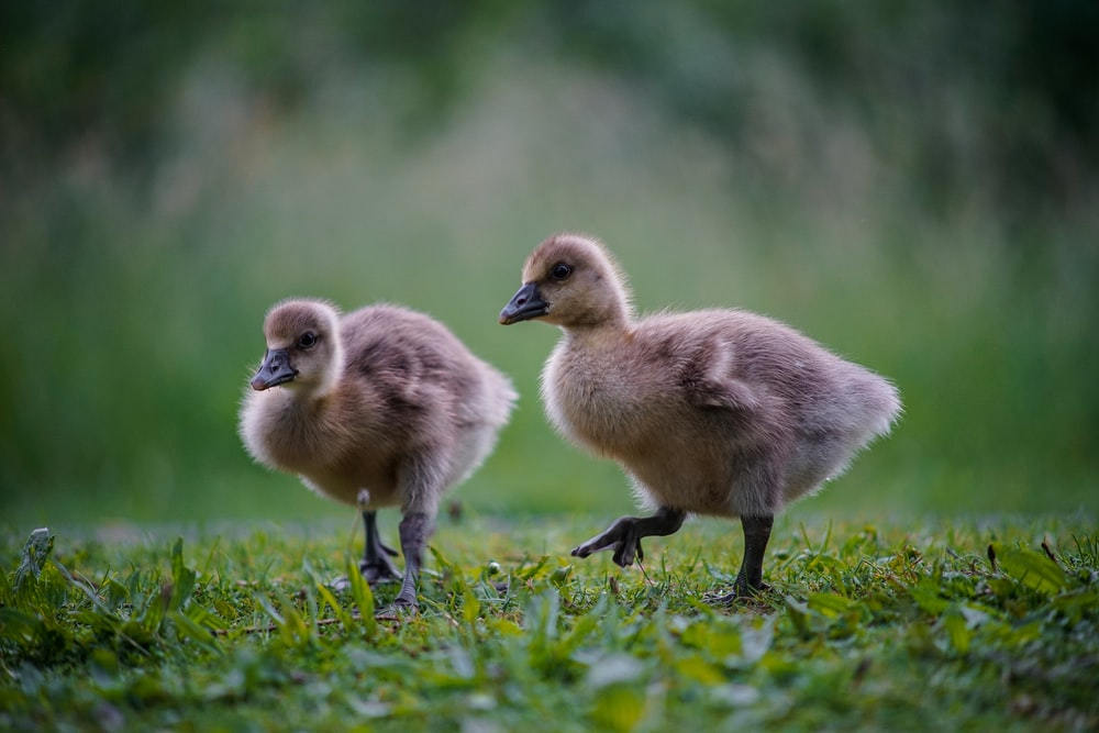 two brown ducklings on green grass during daytime