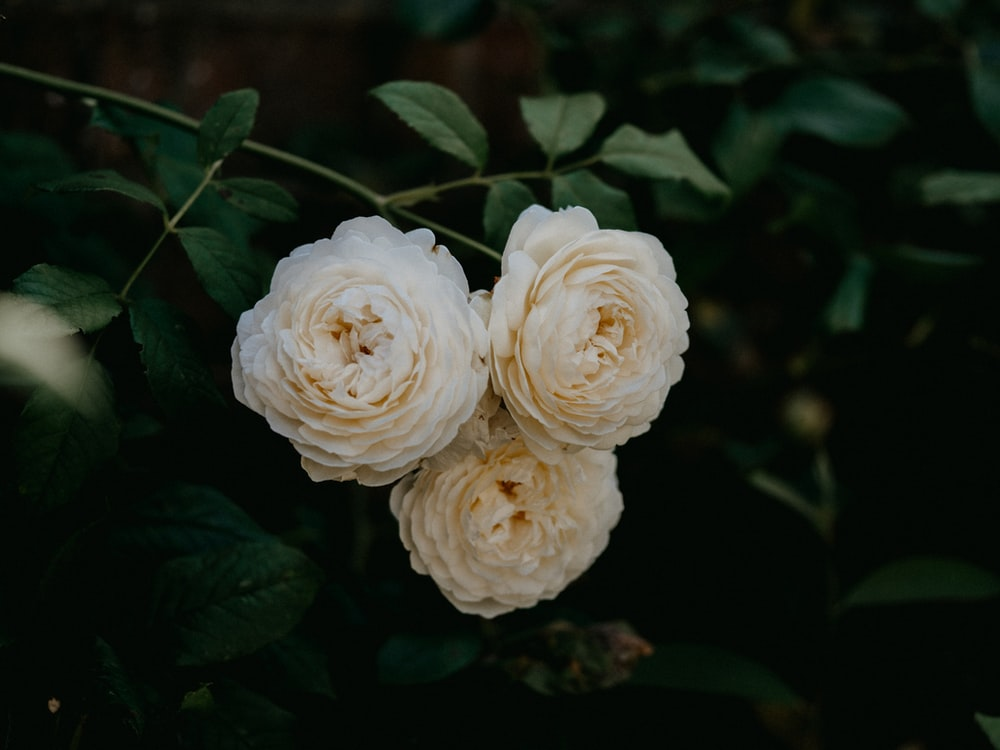 white roses in close up photography