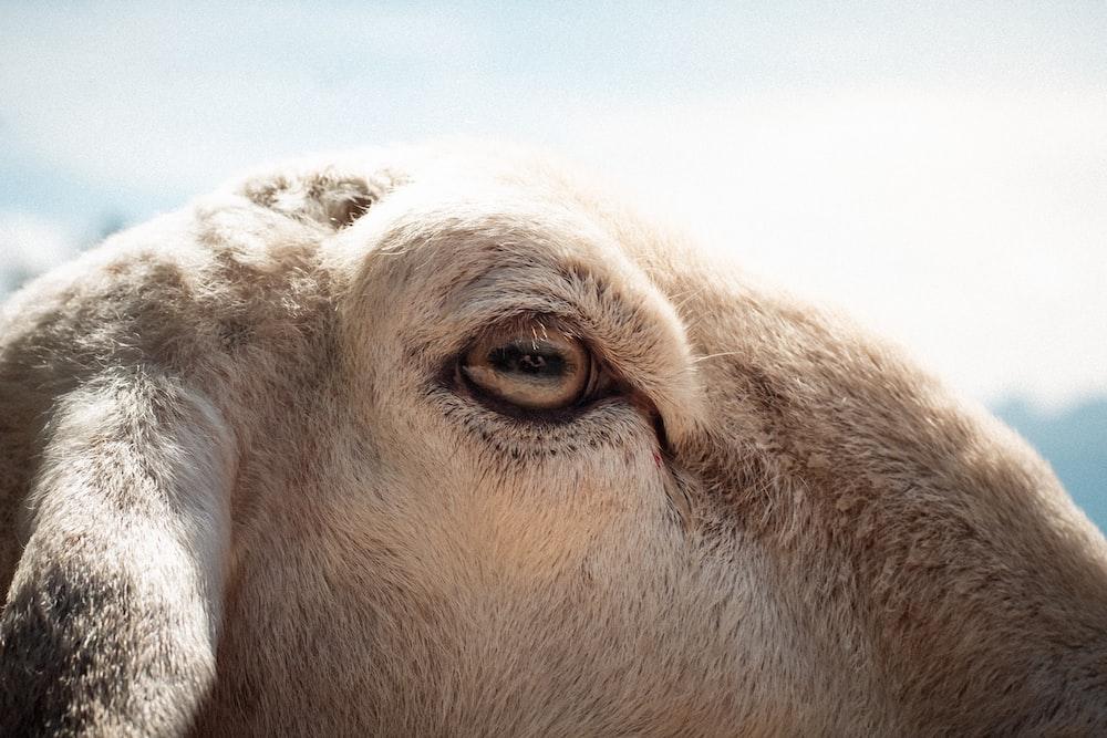 brown and white animal eye