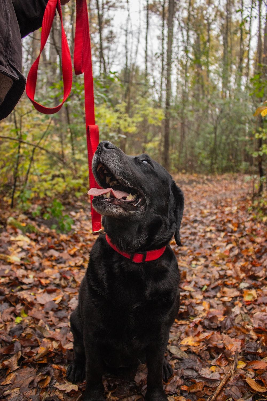black labrador retriever sitting on dried leaves during daytime