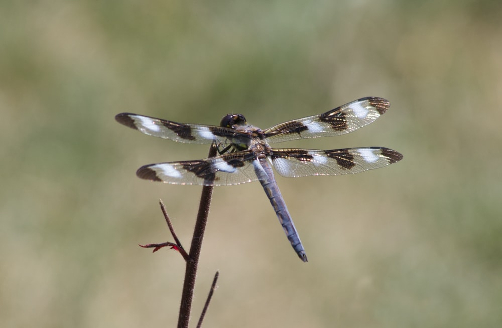 blue and white dragonfly perched on brown stem in close up photography during daytime