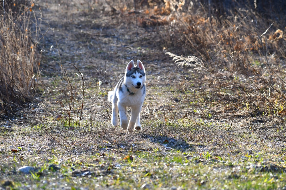 white and black siberian husky on green grass field during daytime
