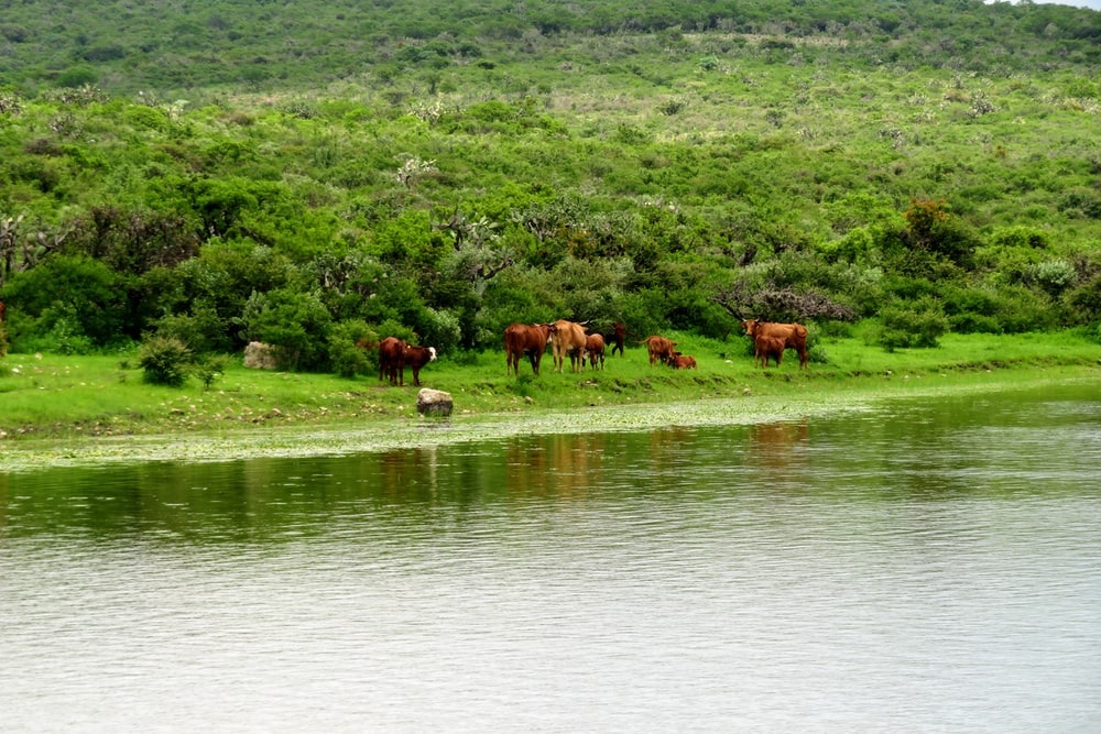 brown horses on green grass field near body of water during daytime