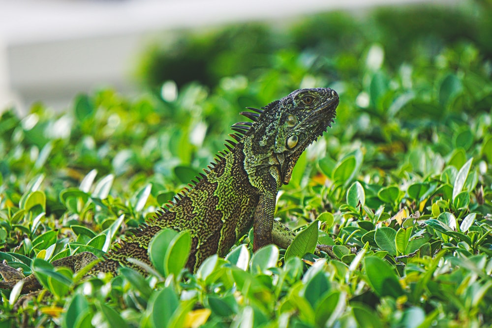 green and brown bearded dragon on green leaves