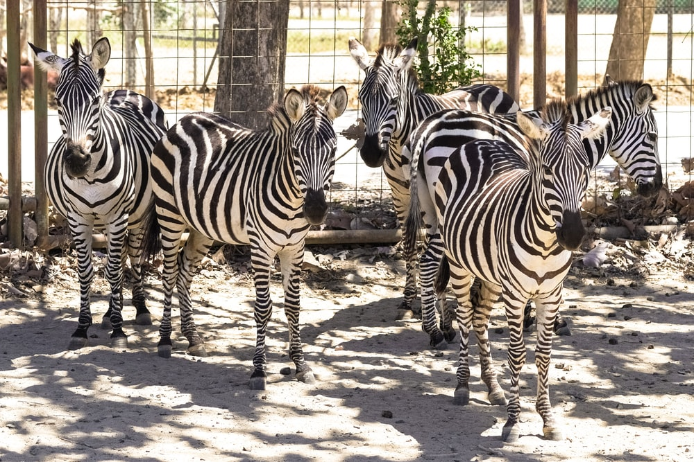 zebra standing on brown soil during daytime
