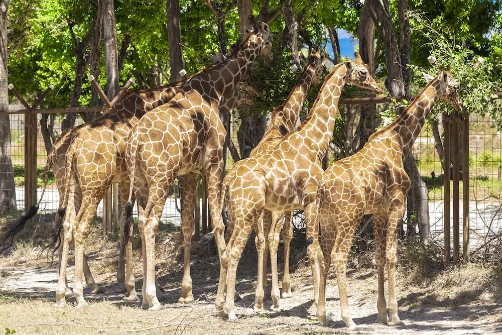 brown giraffe walking on white sand during daytime