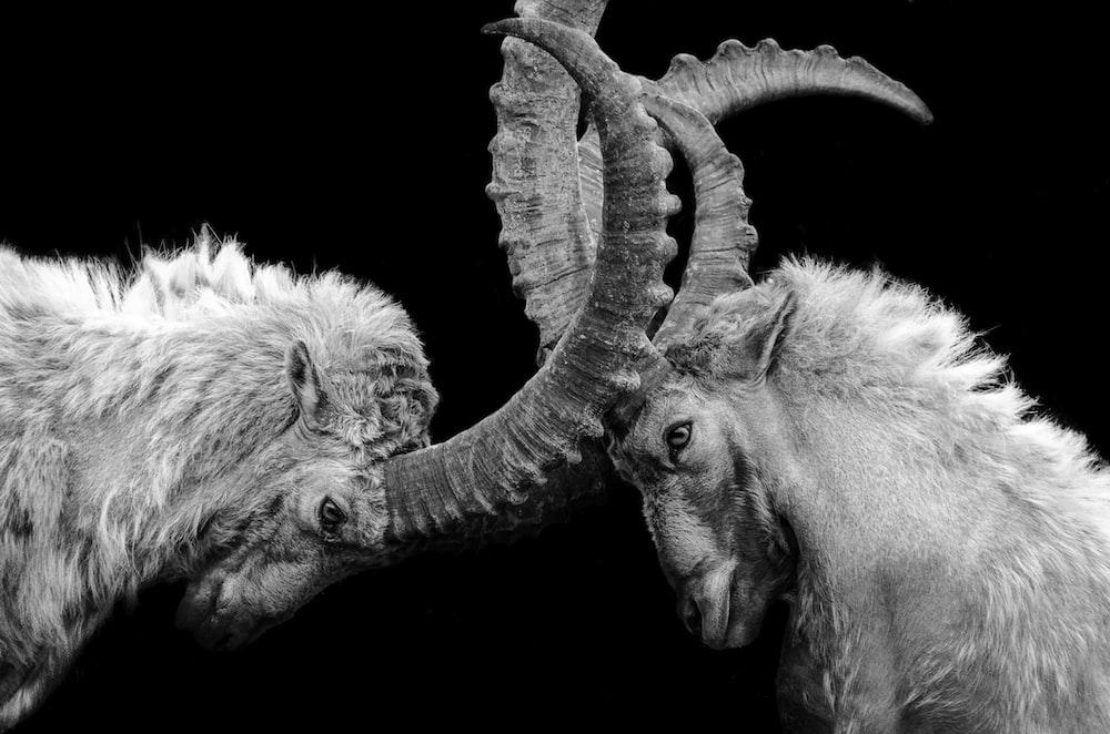 grayscale photo of ram head
