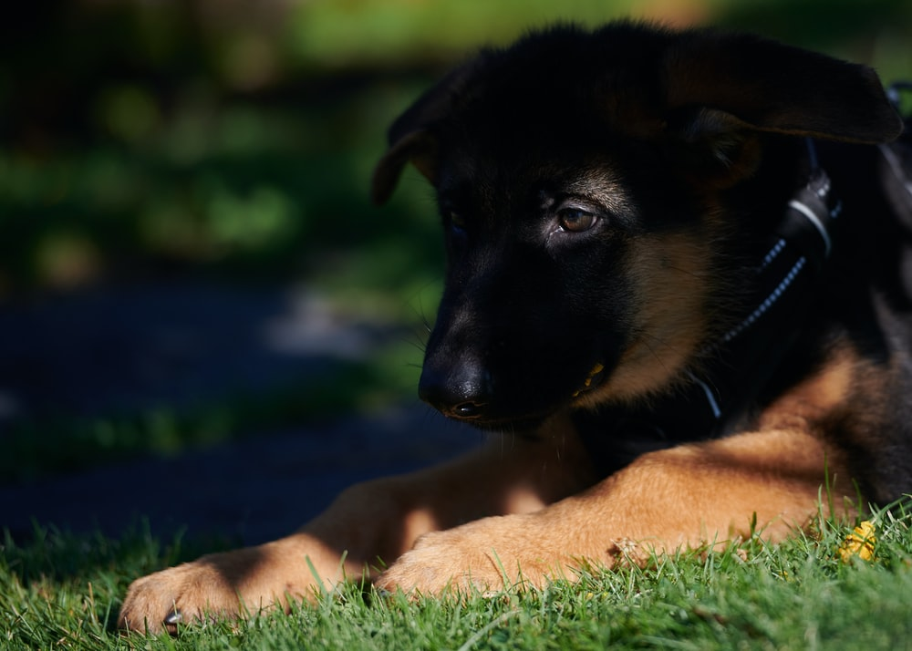 black and tan german shepherd puppy lying on green grass field during daytime