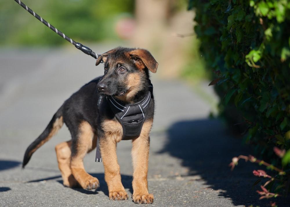 black and tan short coat medium dog with leash