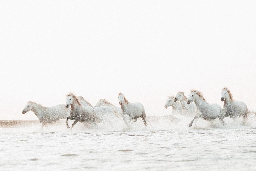 herd of white horses on water