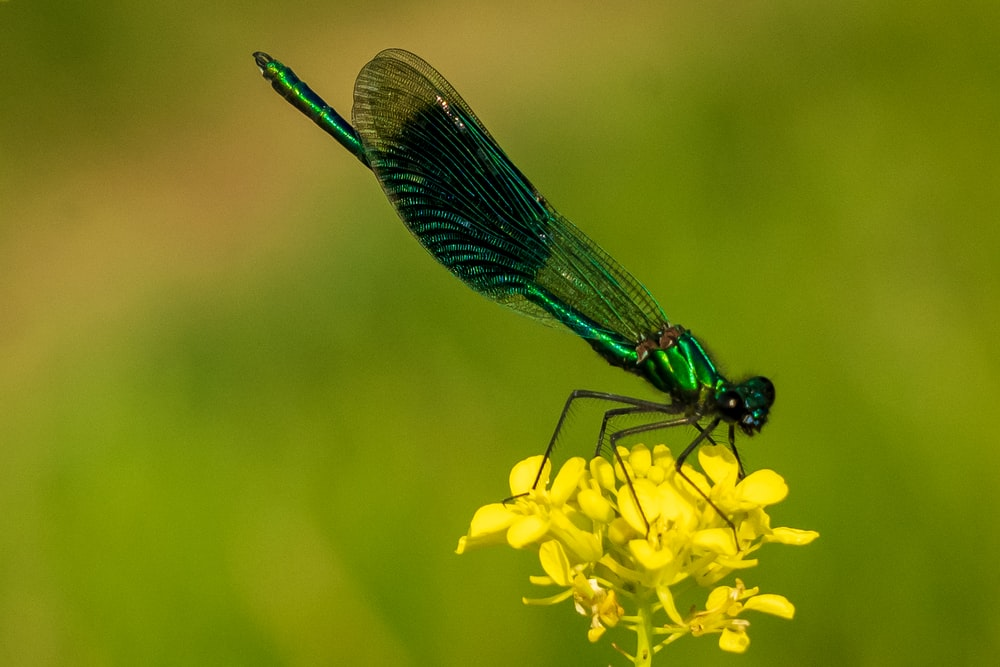 blue damselfly perched on yellow flower in close up photography during daytime