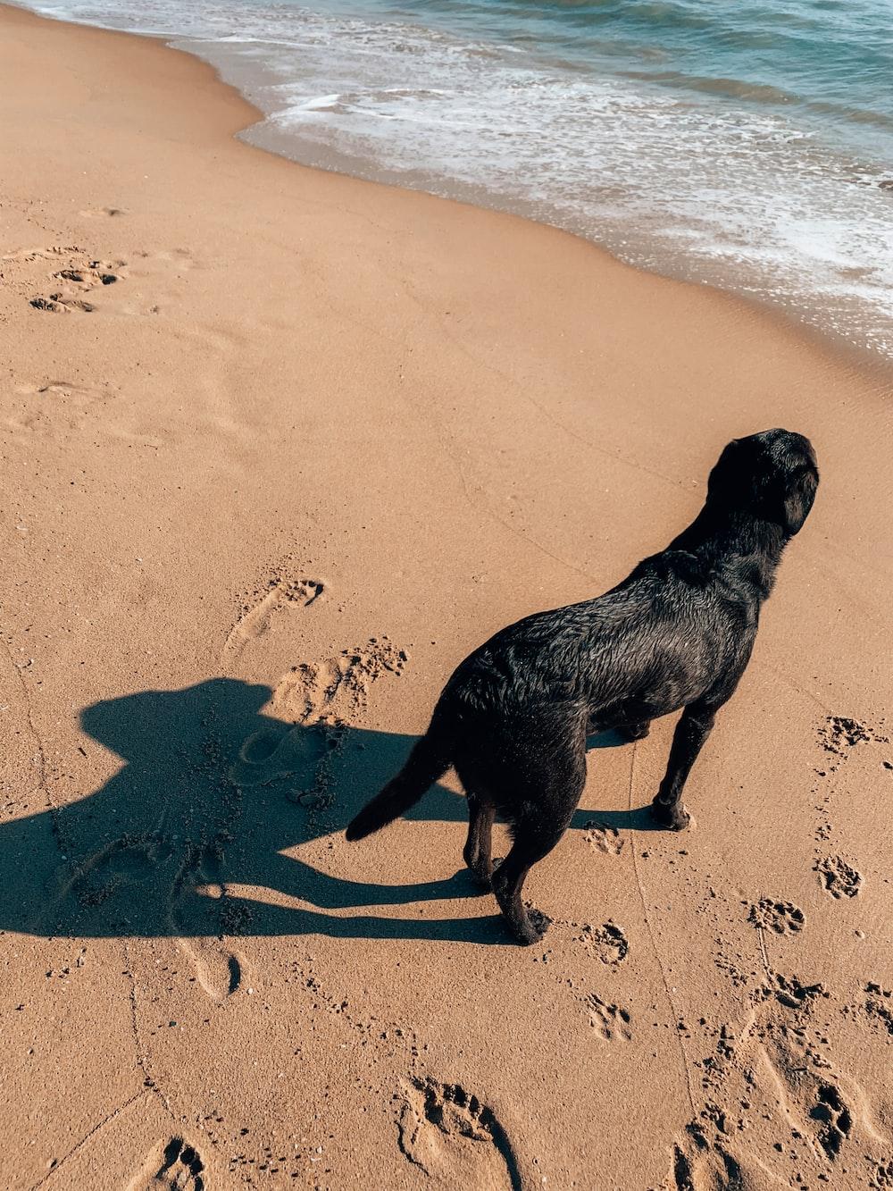 black labrador retriever on beach shore during daytime