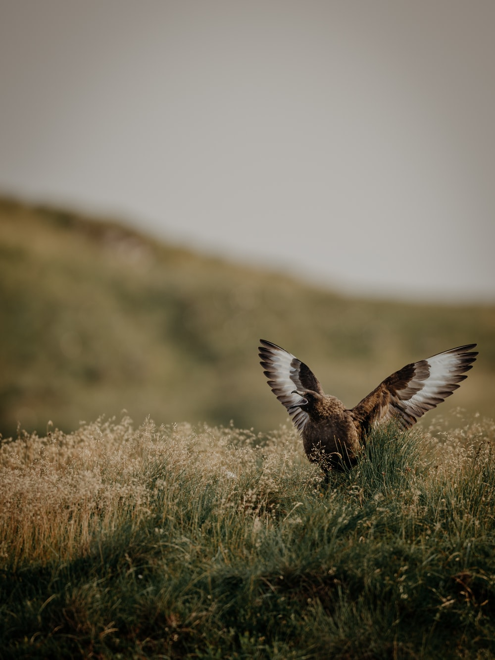 brown and white bird flying over brown grass during daytime