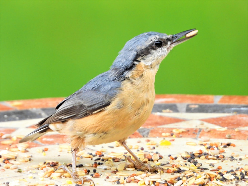 blue and brown bird on ground