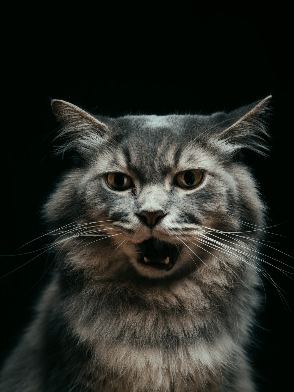 grey and white long fur cat