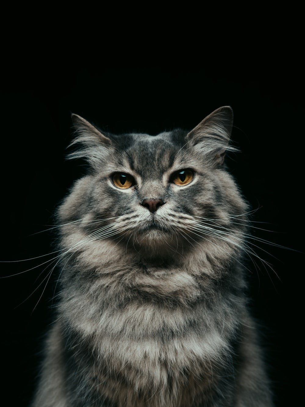 black and gray cat with black background