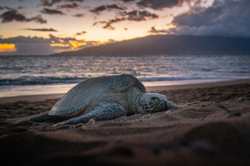 brown turtle on brown sand during sunset