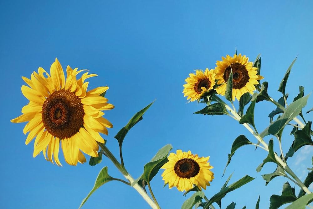 yellow sunflower under blue sky during daytime