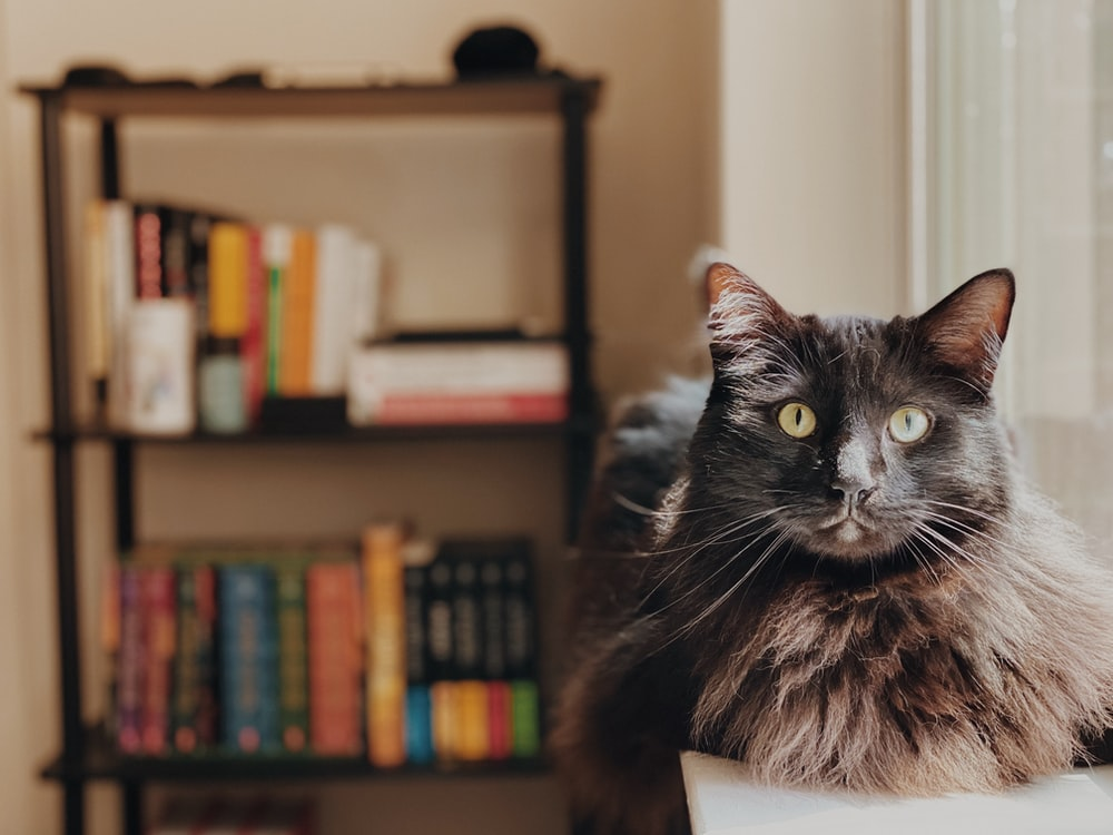black and white cat on brown wooden shelf