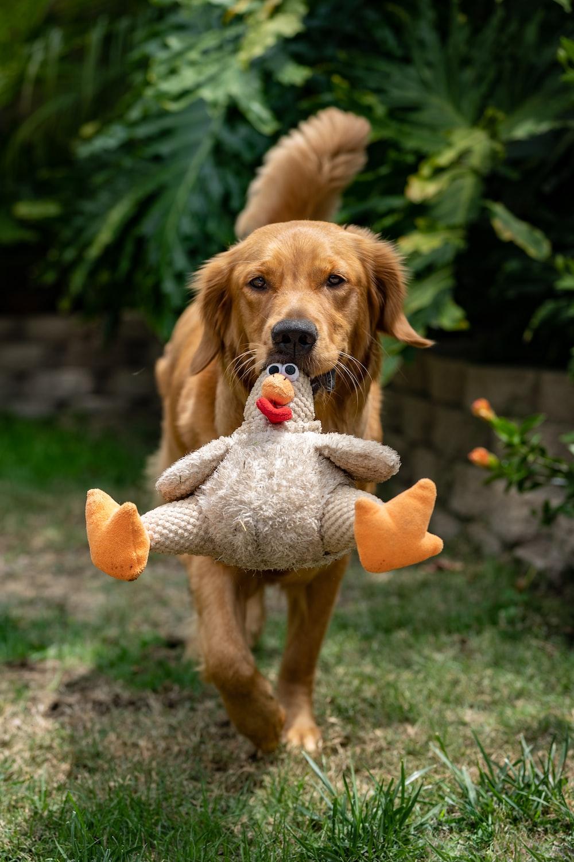 golden retriever puppy biting orange and white plush toy on green grass field during daytime