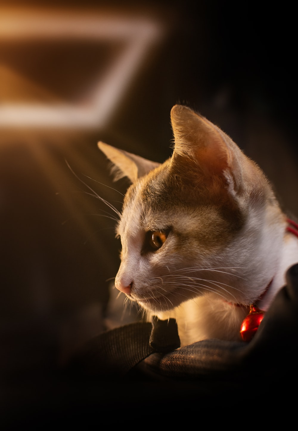 white and brown cat with red collar