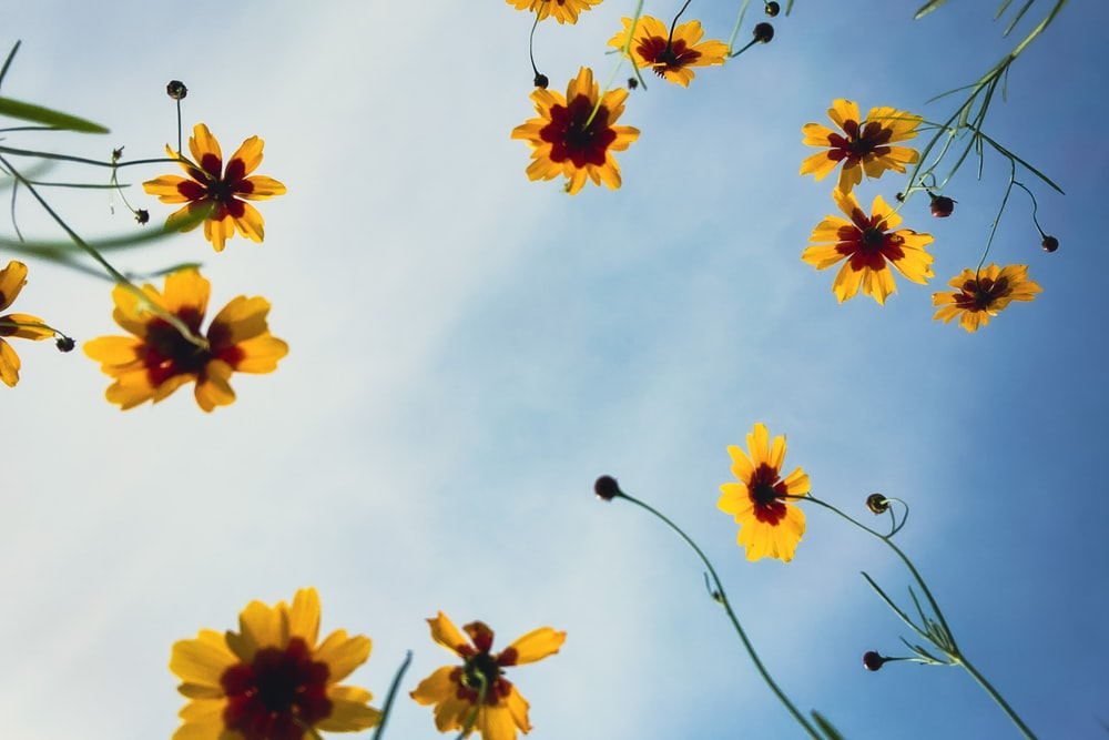 yellow flowers under white clouds