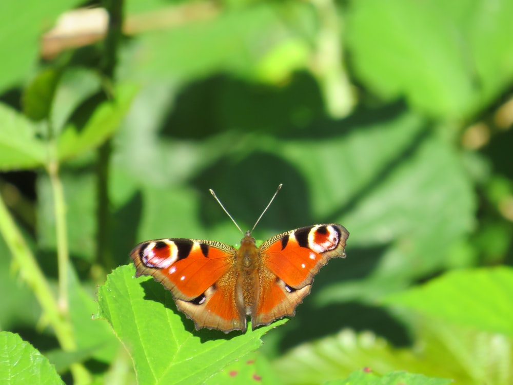 peacock butterfly perched on green leaf in close up photography during daytime