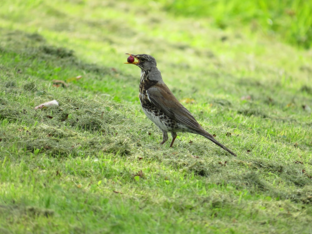 brown and gray bird on green grass during daytime