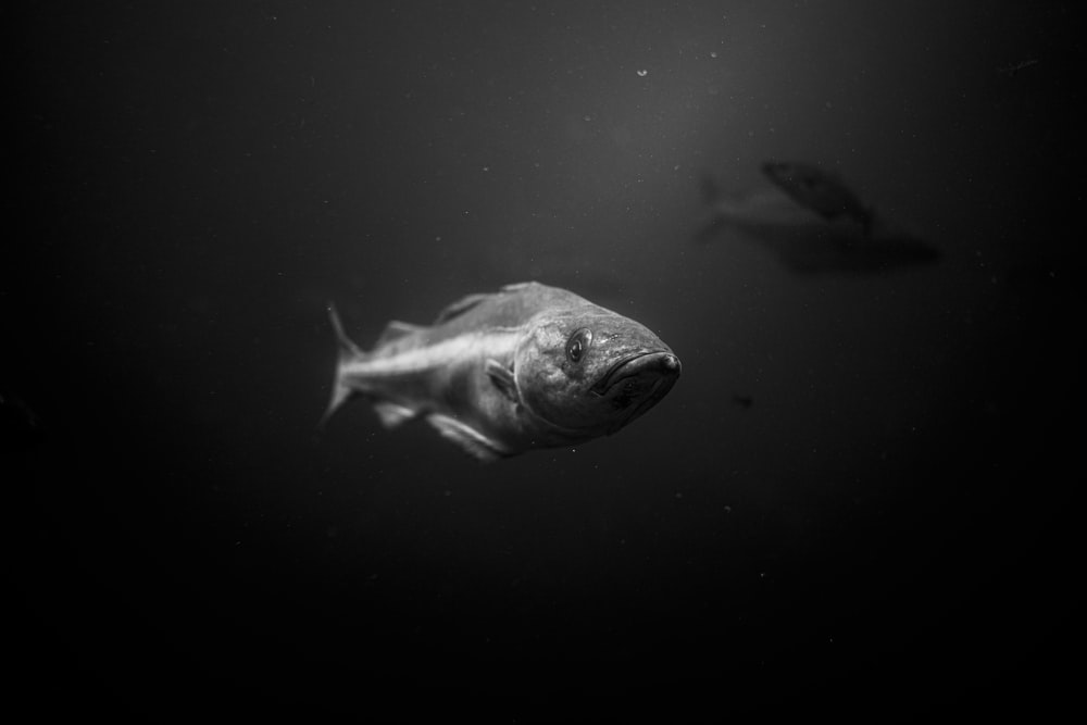 grayscale photo of fish in water