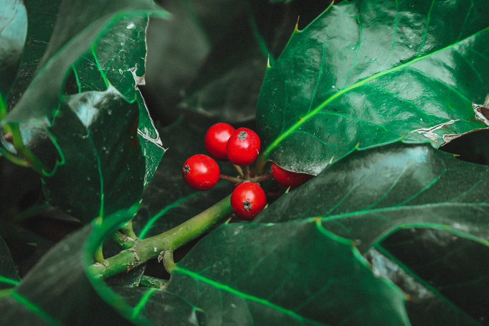 red round fruits on green leaves