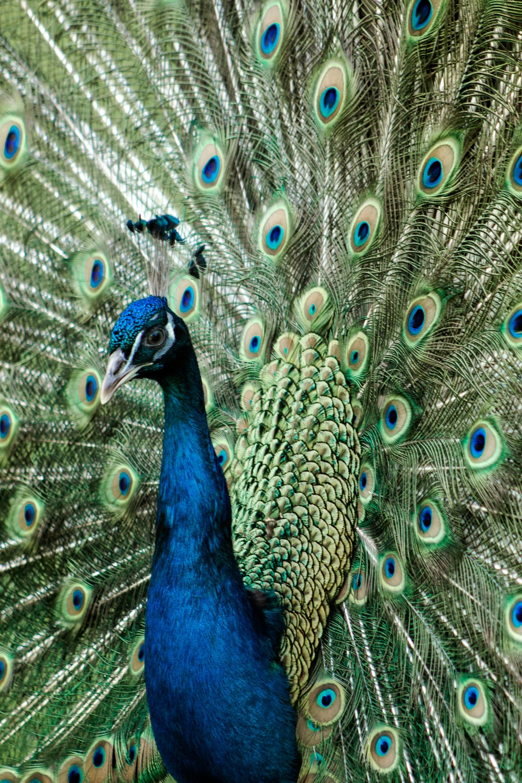 blue peacock on brown rock