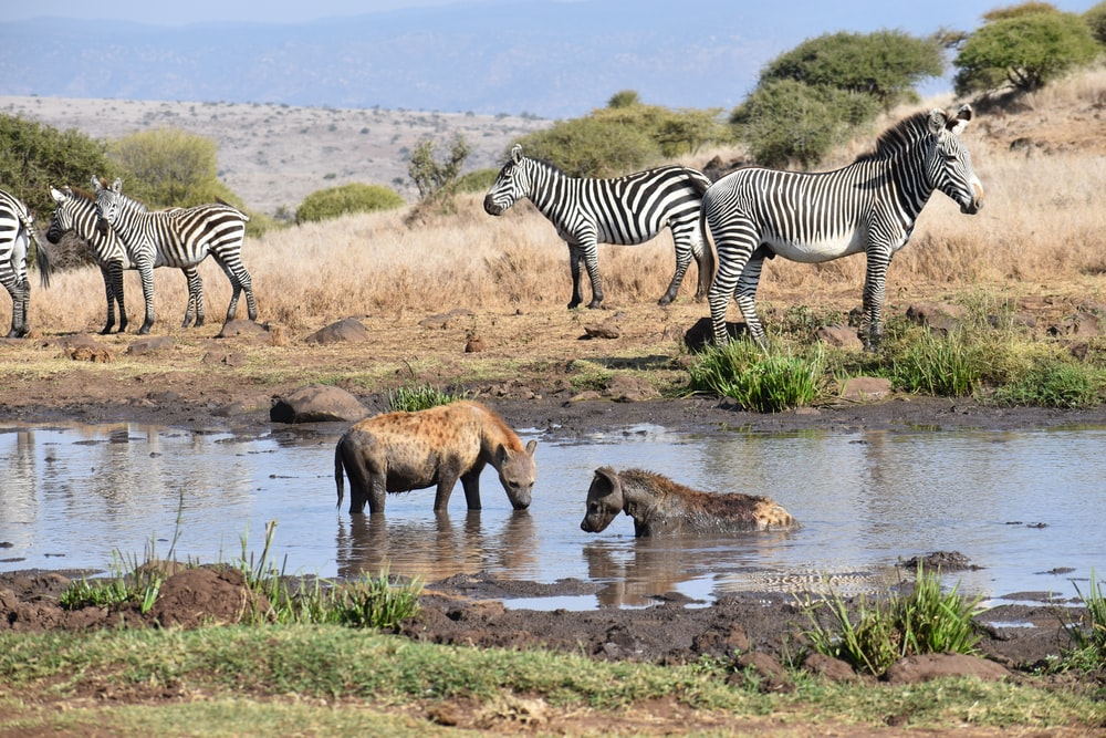zebra and calf on water during daytime