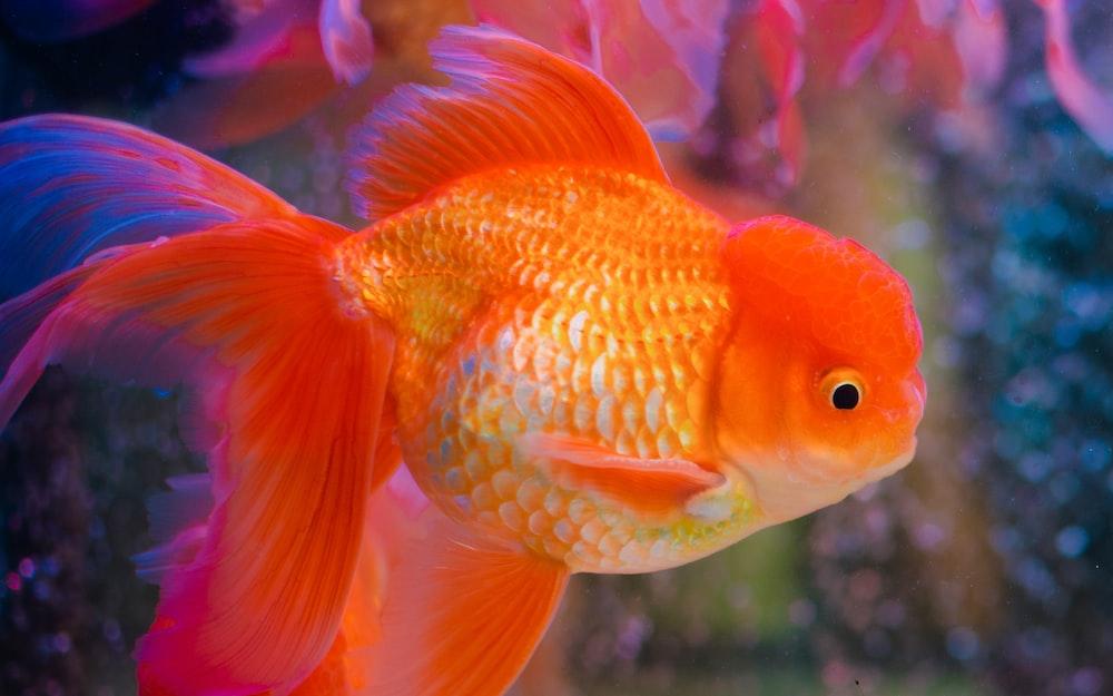 orange and white fish in tank