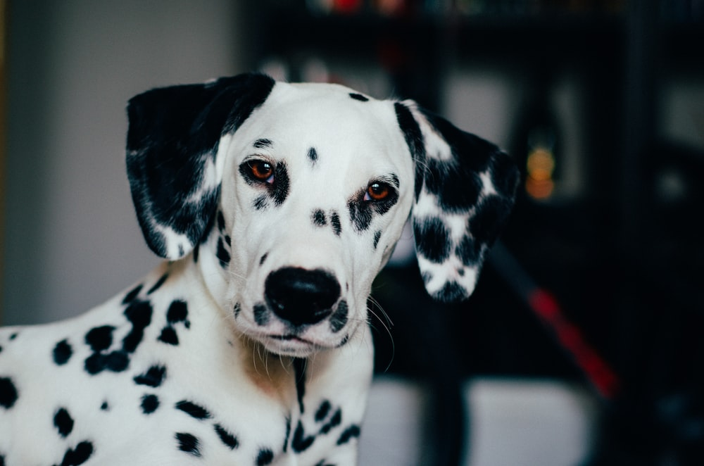 black and white dalmatian dog