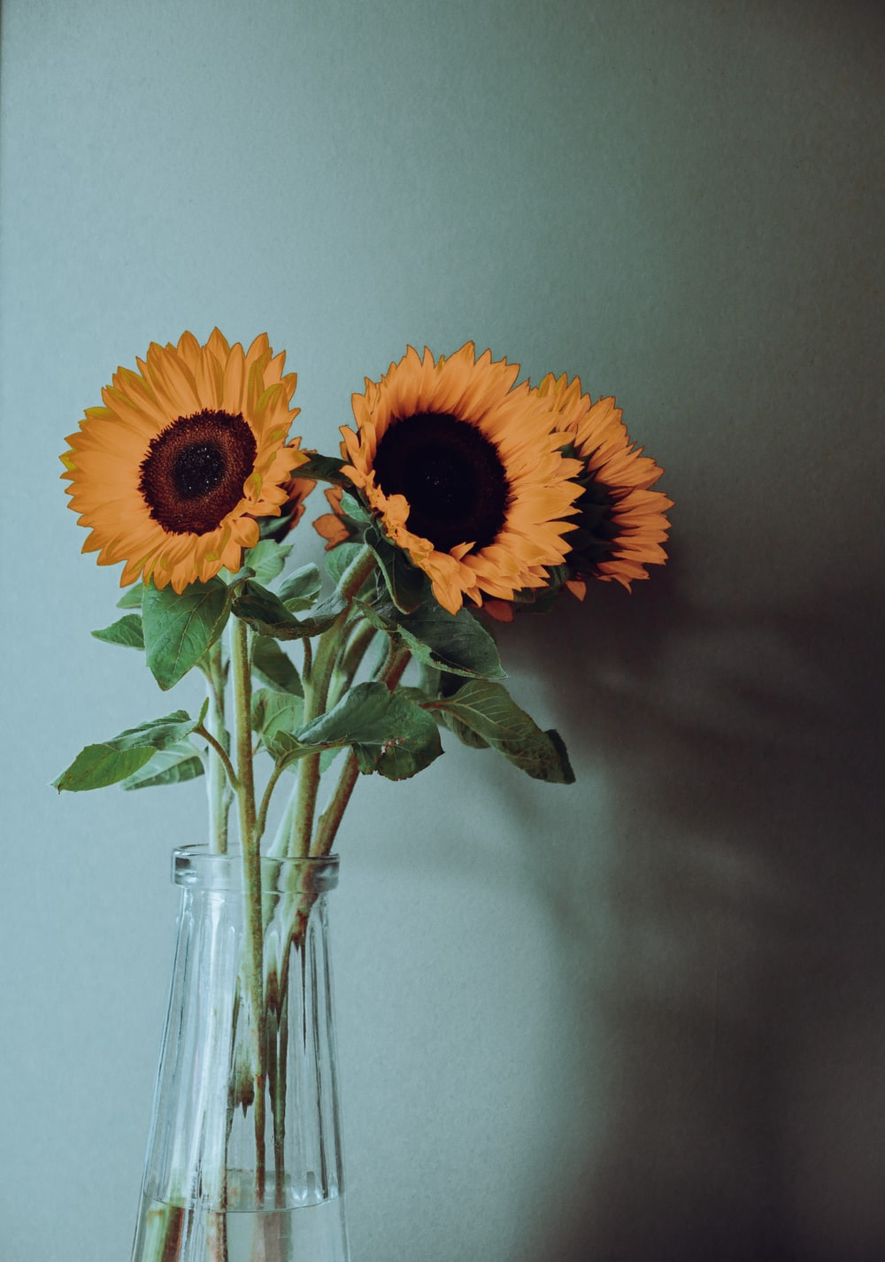 sunflower in clear glass vase