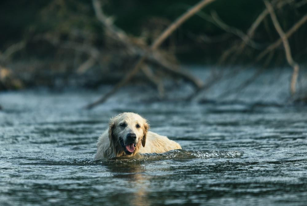 golden retriever on water during daytime