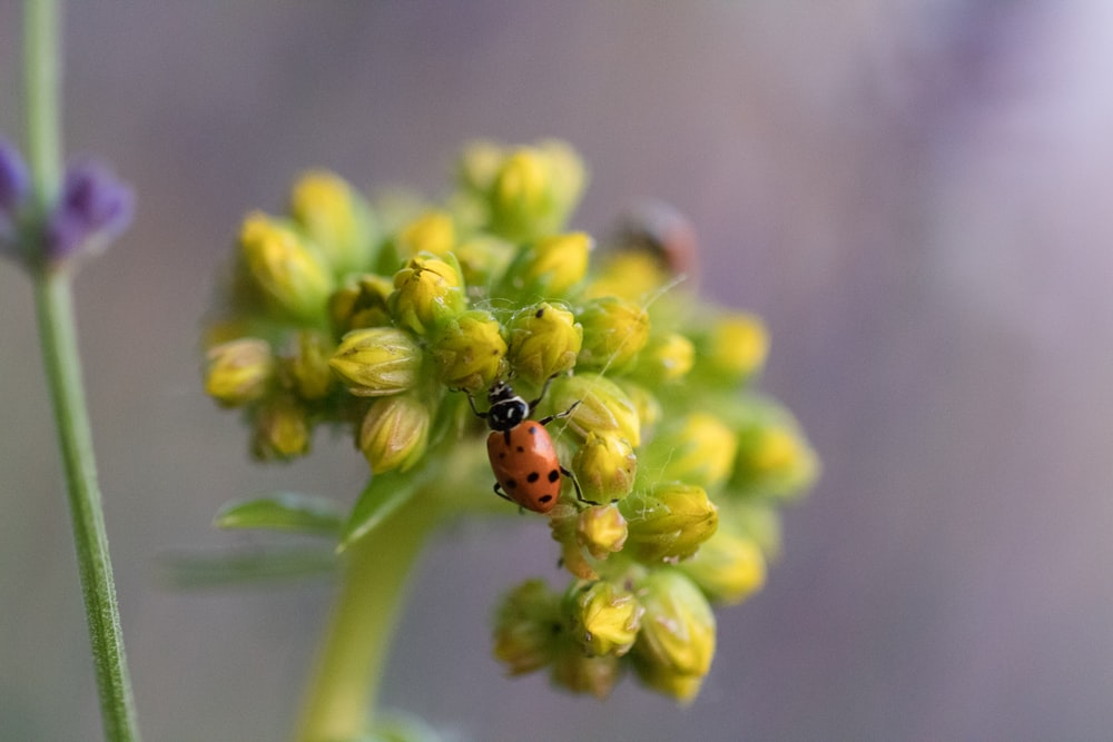 red ladybug perched on yellow flower in close up photography during daytime