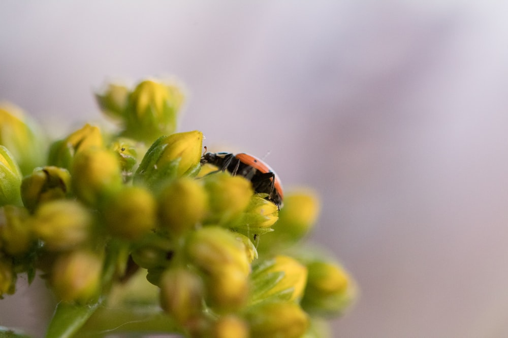 black and orange ladybug perched on yellow flower in close up photography during daytime