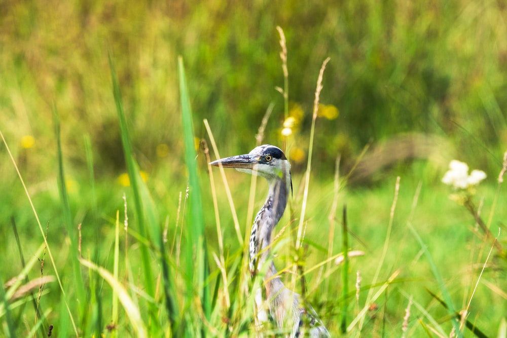 grey and yellow bird on green grass during daytime