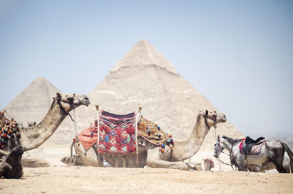 camel in the desert during daytime