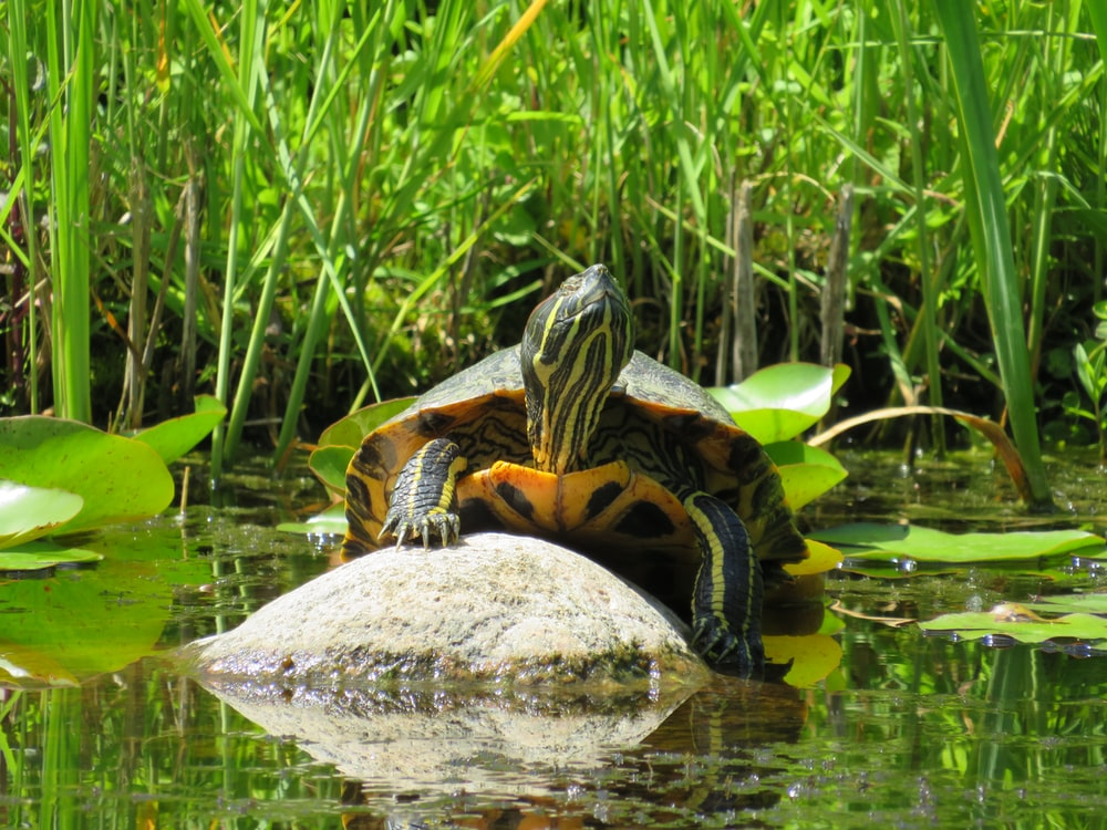 black and yellow turtle on gray rock near green grass during daytime