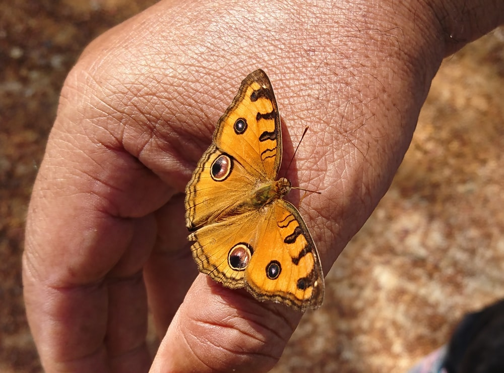 brown and yellow butterfly on persons hand
