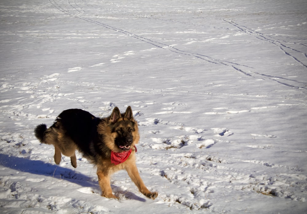 black and tan german shepherd on snow covered ground during daytime