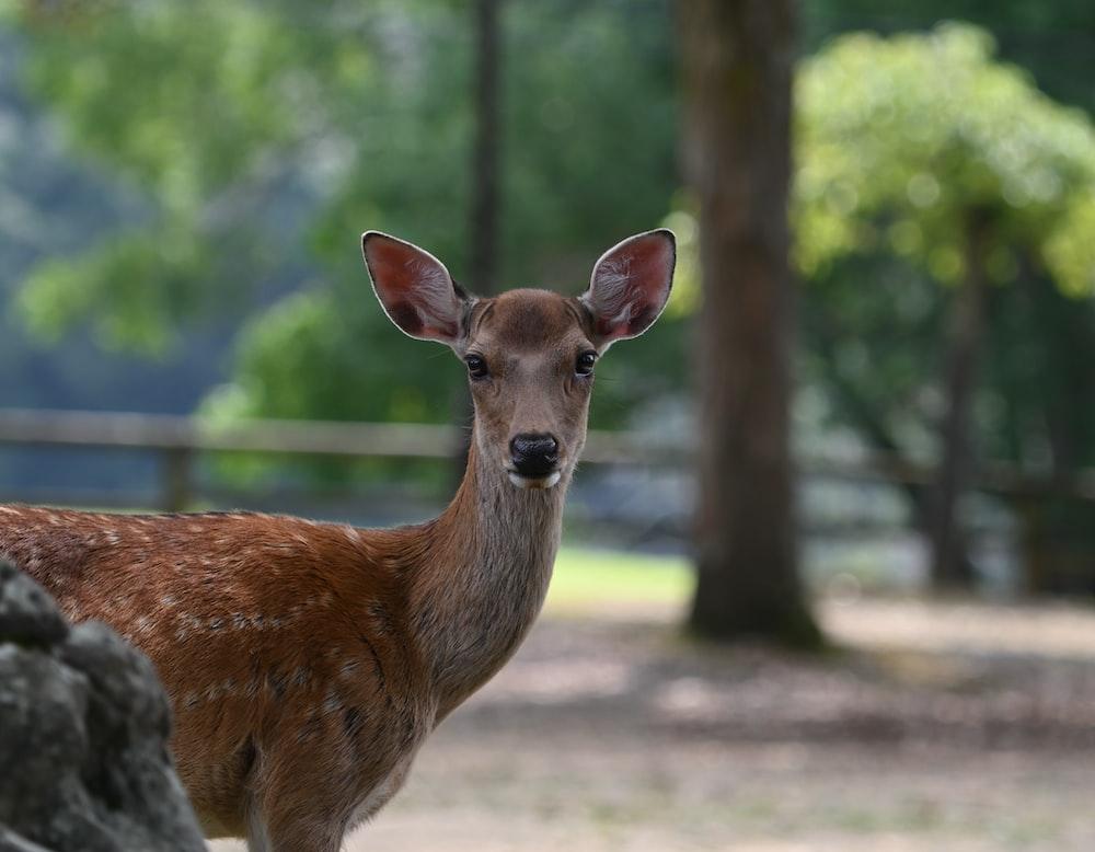 brown deer standing on brown field during daytime