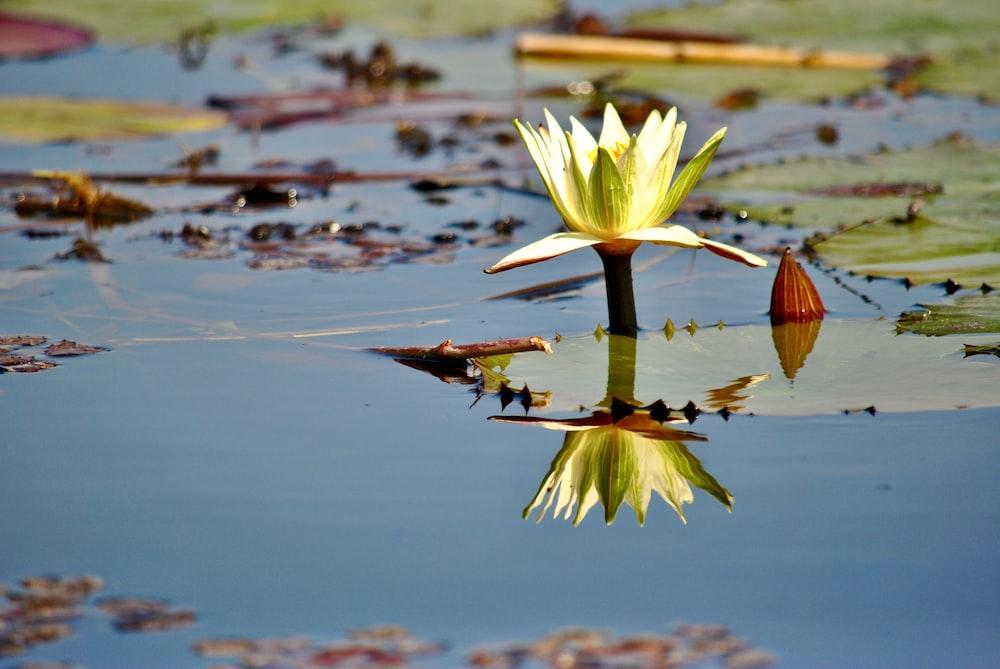 yellow lotus flower on water