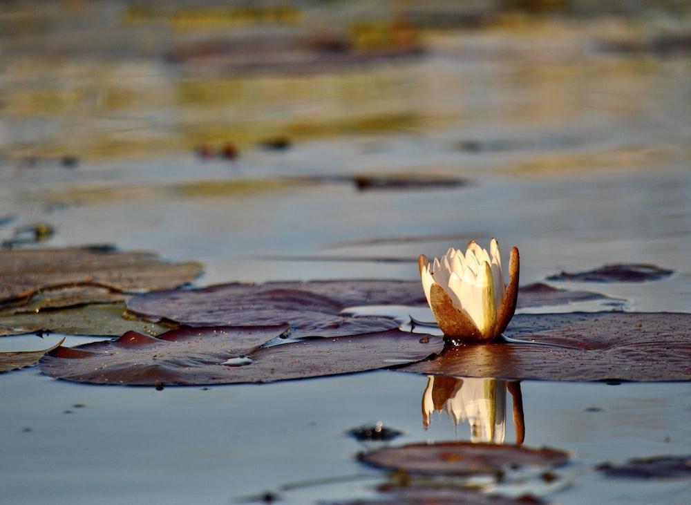 white flower on water during daytime