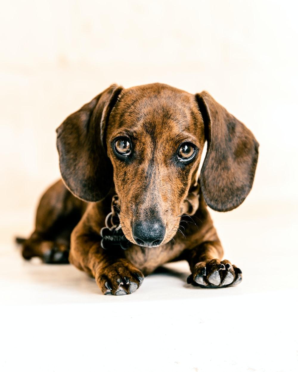 brown dachshund puppy on white floor