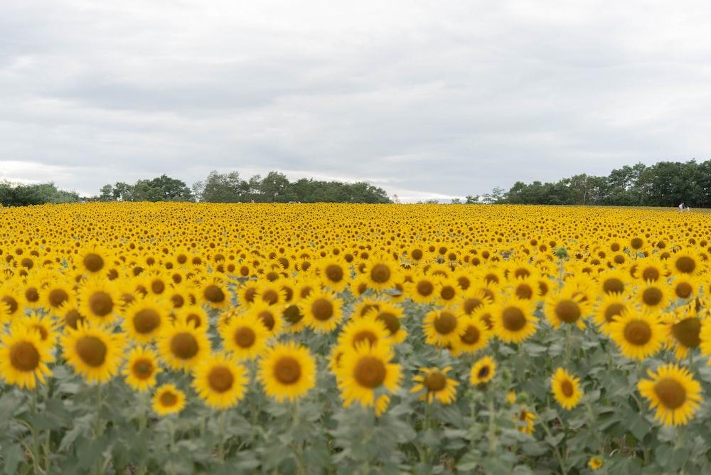 yellow sunflower field under white clouds during daytime