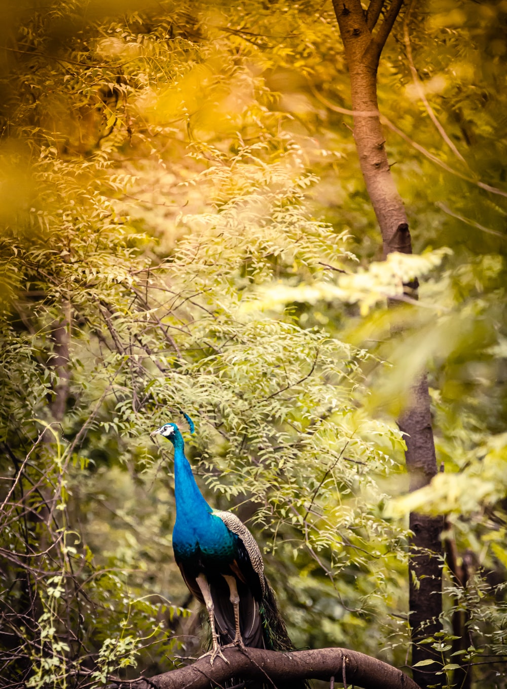 blue peacock on green tree branch during daytime